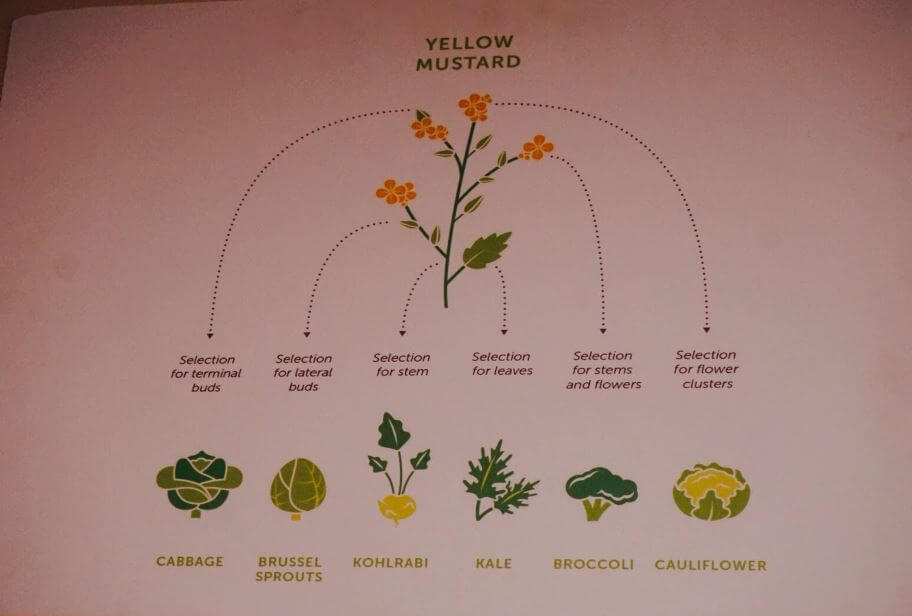 Yellow Mustard Plant Descendents